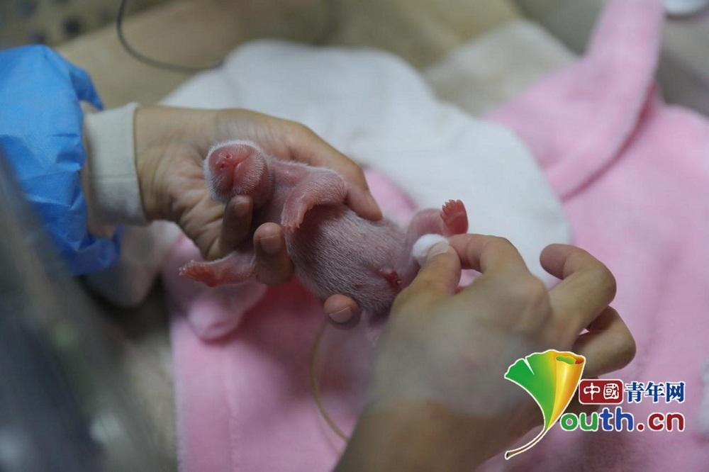刚刚出生的龙凤胎大熊猫宝宝.成都大熊猫繁育研究基地供图