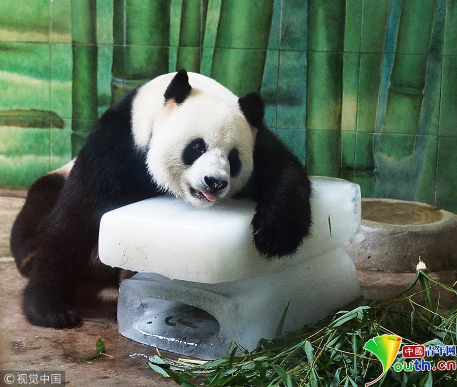 2015年08月04日,武汉动物园内,大熊猫伟伟趴在冰块上打哈欠、午休。图片作者/视觉中国   中国青年网北京6月27日电 进入六月末,一波波热浪涌来,高温预警不断,看看被热蔫儿了的动物们抱冰块的萌照吧!北京市气象台2018年6月26日6时10分发布高温黄色预警信号,预计26日至28日,北京市大部分地区最高气温将达35以上。