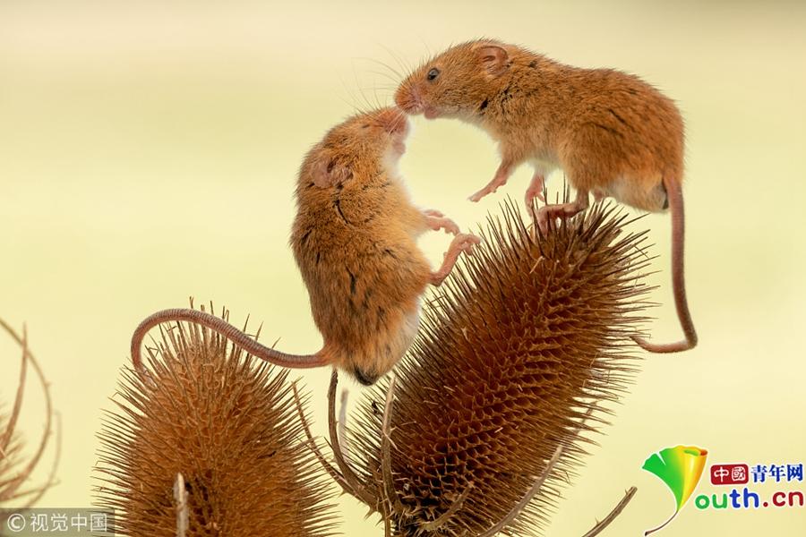 英国多塞特郡,摄影师mike boss镜头下野外花丛中可爱的小田鼠.