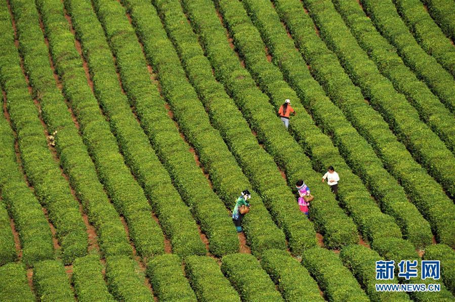 贵州毕节市威宁彝族回族苗族自治县炉山镇的茶农在采摘高原生态茶