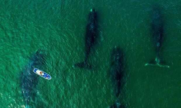 航拍俄海湾弓头鲸-海洋巨兽与冲浪者同游.jpg