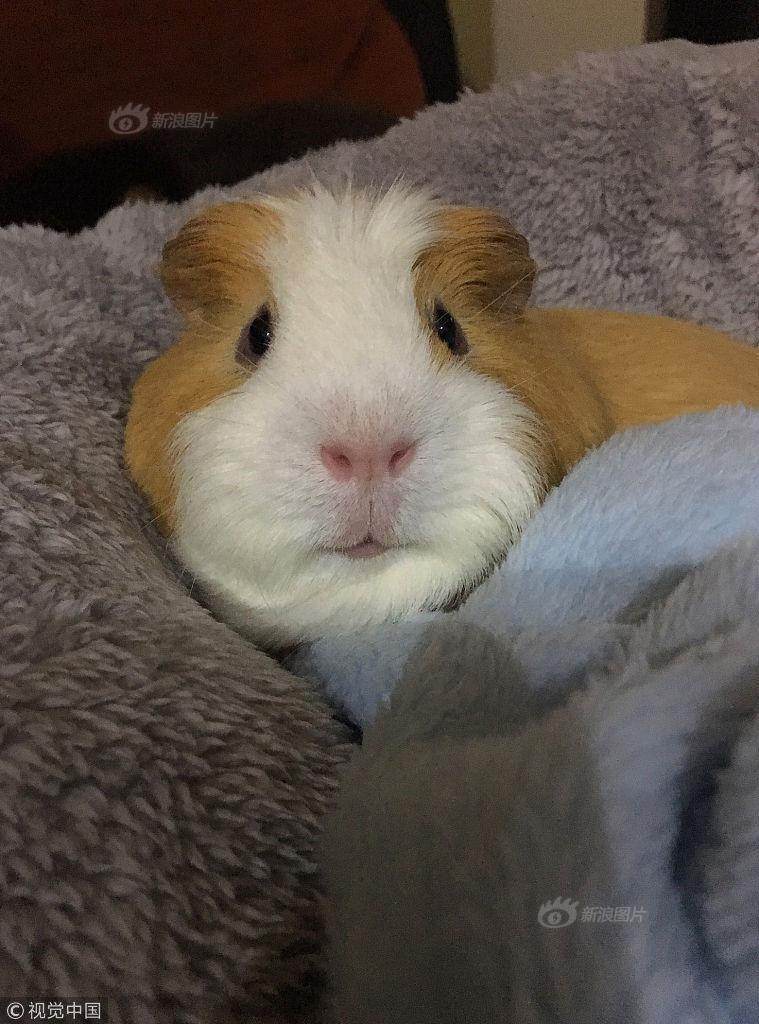 在她发布了艾伦戴着迷你小帽子的照片后,这只可爱的小豚鼠迅速走红,目