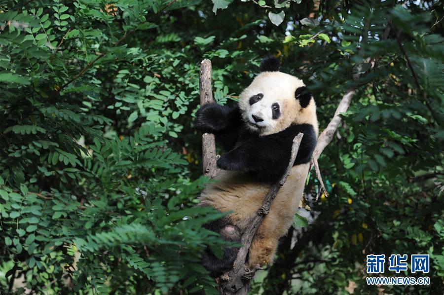 """9月7日,在陕西省珍稀野生动物抢救饲养研究中心,大熊猫""""善仔""""在活动"""