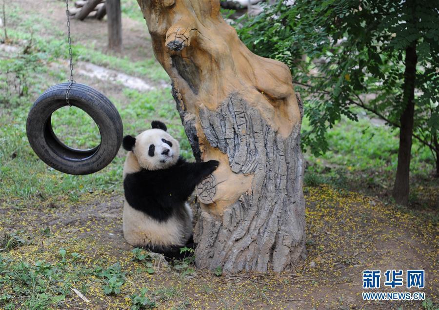 """9月7日,在陕西省珍稀野生动物抢救饲养研究中心,大熊猫""""善仔""""在树下休"""