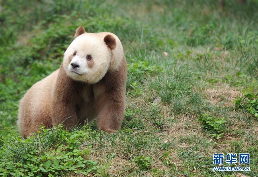 9月7日,大熊猫七仔在陕西省珍稀野生动物抢救饲养研究中心内玩耍.