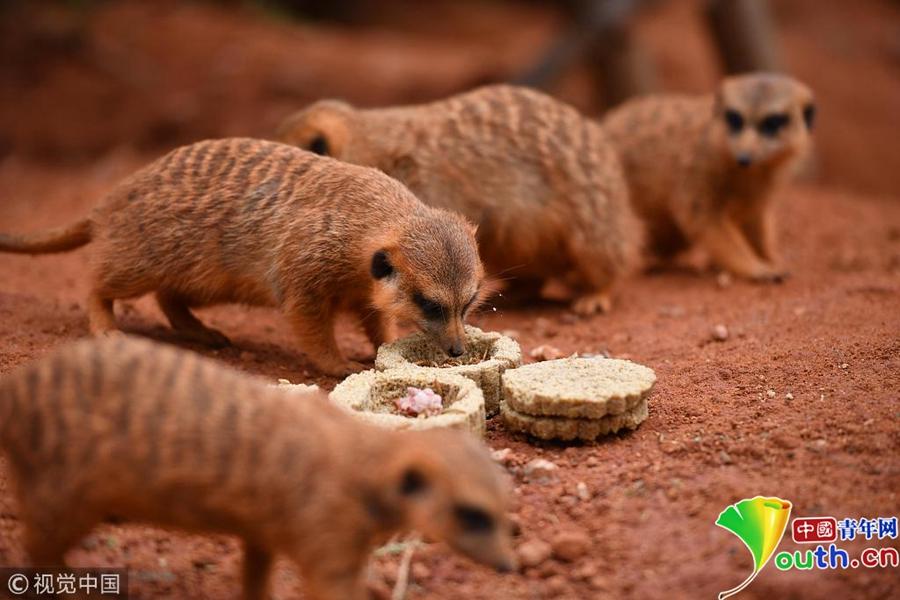 2018年9月20日,云南野生动物园里的细尾獴正在观察用面包虫和鲜肉配制