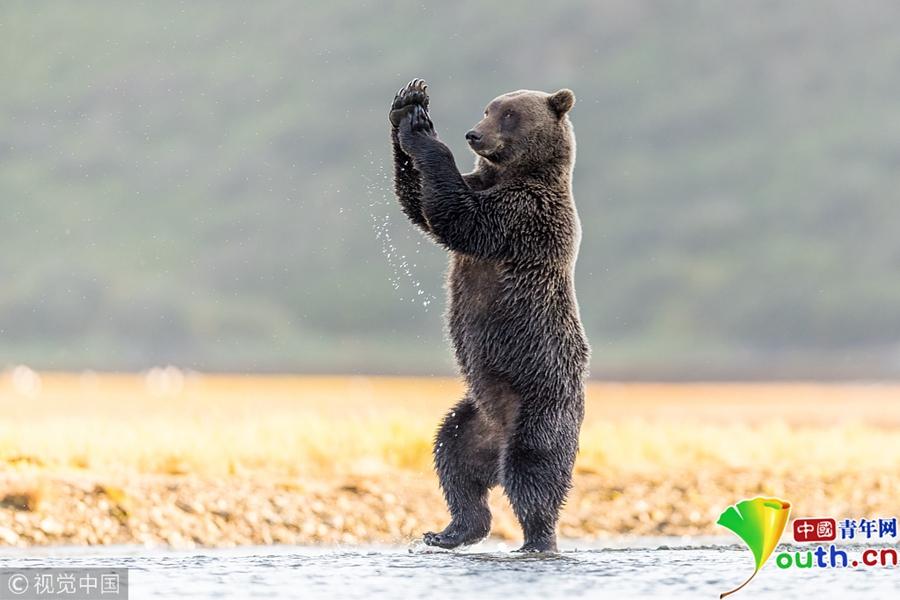 """灰熊水畔""""练瑜伽"""" 身姿优雅神态从容"""