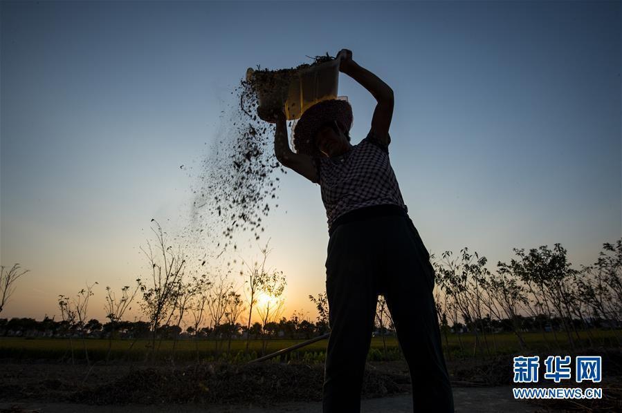 9月24日,江苏南通海安市曲塘镇的农民在夕阳下劳作.