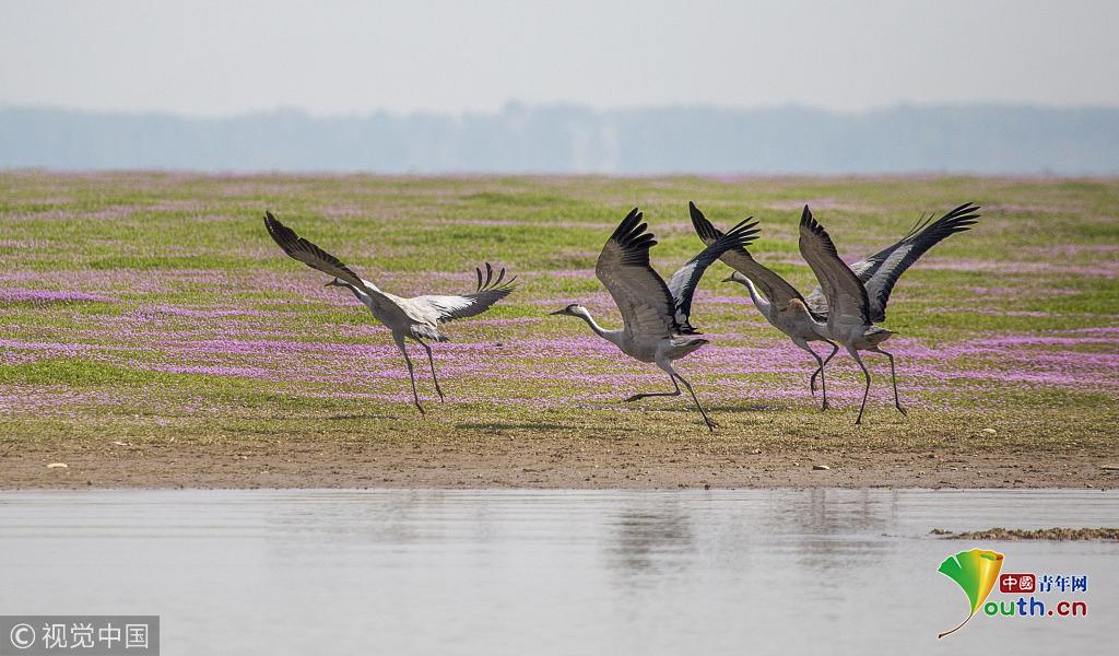 江西九江:几千只灰鹤抵达鄱阳湖越冬