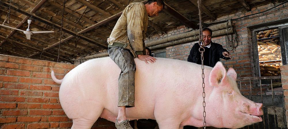 900斤大猪没人敢买-养猪人骑猪求关注.jpg