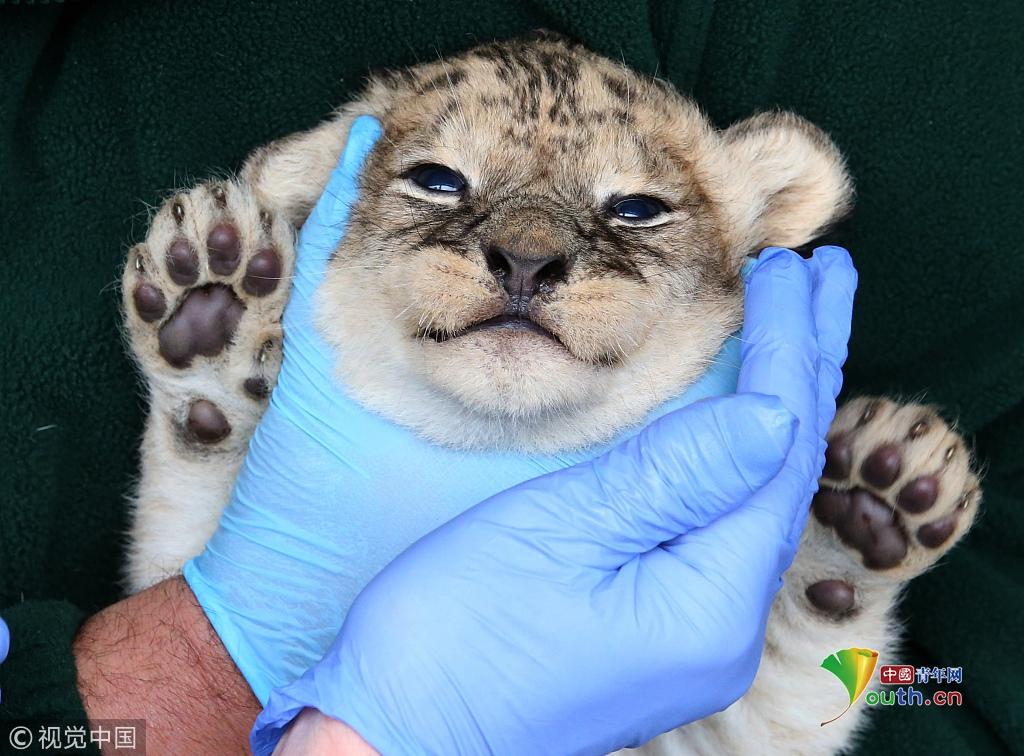 动物体检现场爆笑可爱 狮子被提起来称重