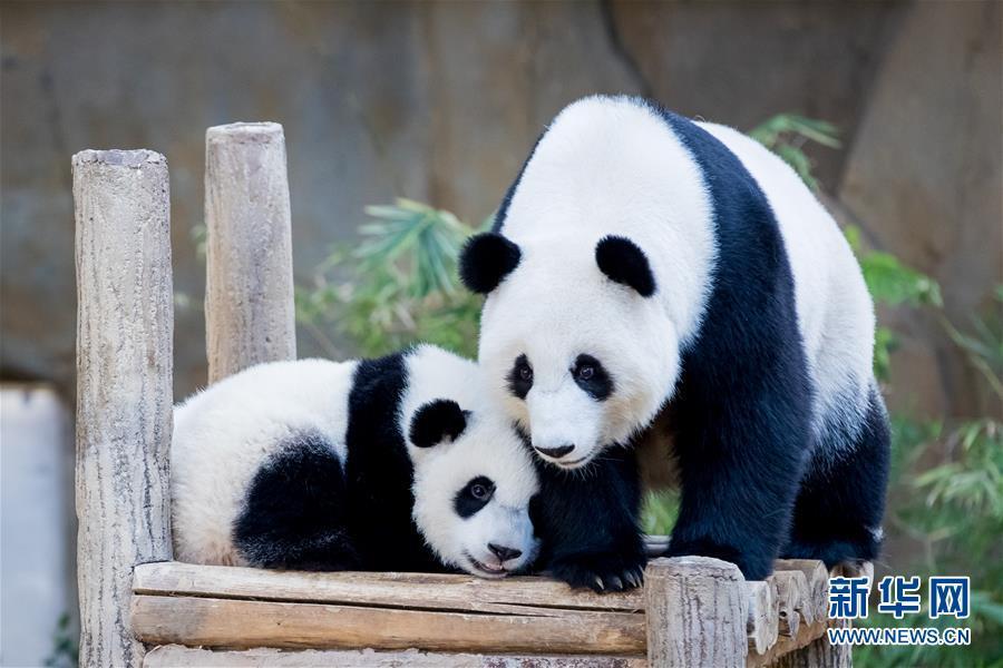 在马来西亚吉隆坡附近的马来西亚国家动物园,大熊猫宝宝(左)与妈妈