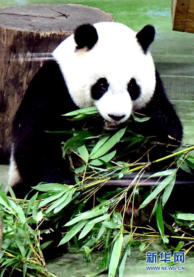 """这是7月6日在台北动物园拍摄的大熊猫""""圆仔"""".新华社记者朱祥摄"""