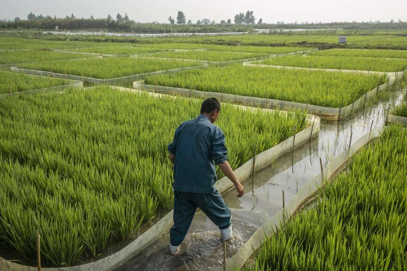 稻蟹共生 开创农业新模式