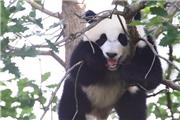 """旅美熊猫幼崽""""小奇?!笔状喂料?jpg"""