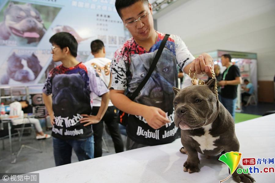 頂級美國惡霸犬種價值百萬,一只純種美國惡霸犬幼犬價格在上萬元圖片